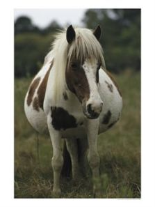 126638~Portrait-of-a-Pregnant-Assateague-Wild-Pony-Mare-Posters